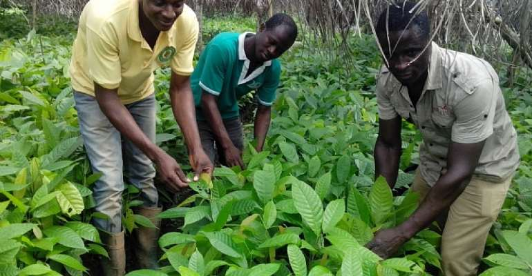 Kwahu East: Farmers benefit from Cocoa seedlings distribution.