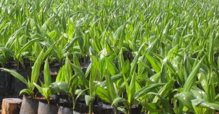 Twifo-Attimokwa Assembly Distribute 50,000 Hybrid Oil Palm Seedlings To Farmers