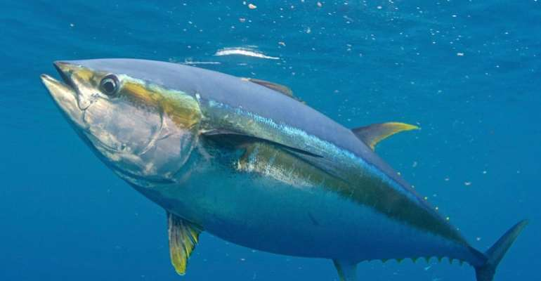 Ghana Is Largest Producer Of Tuna In Africa,  4th Globally But EU Has Monopoly