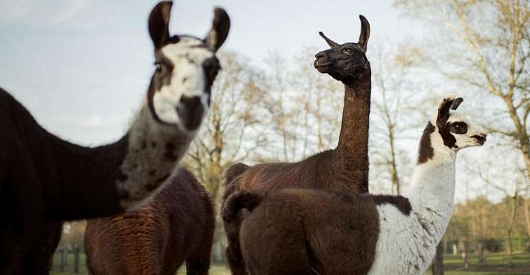 New study shows llama antibodies could fight virus