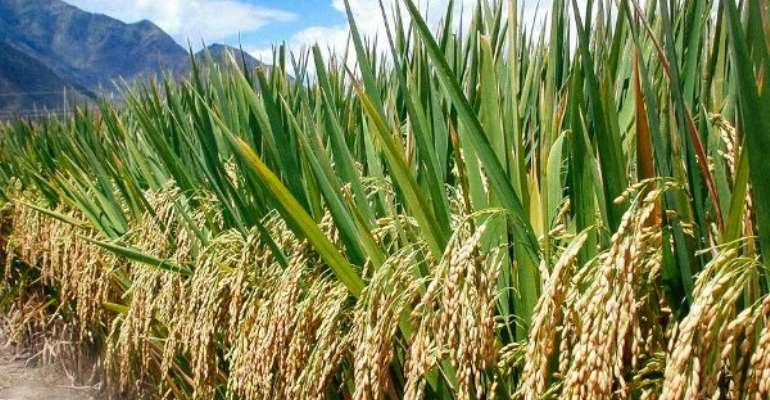 U/E: Rice Production May Be Threatened By Covid-19 – MoFA District Director