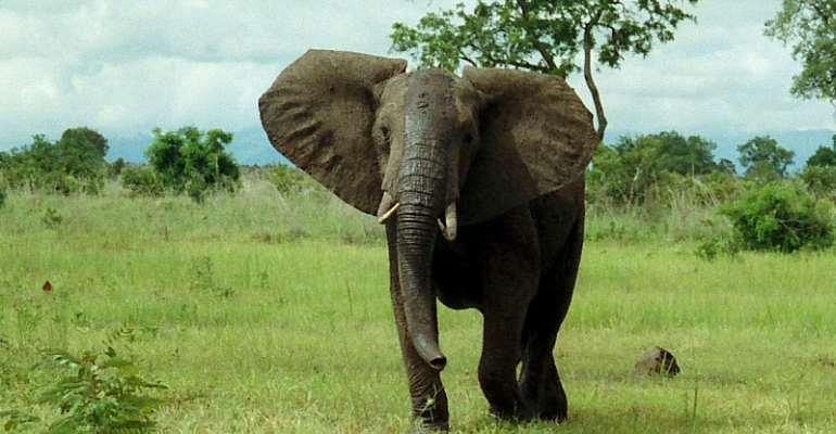 Elephant Breaks Hunter's Waist At Damongo