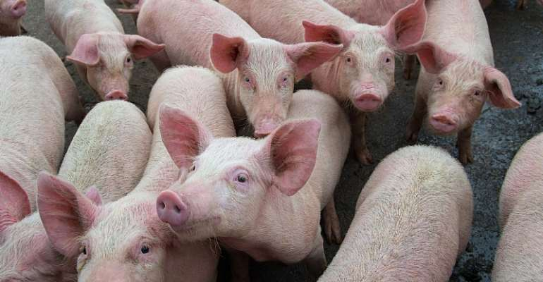 The Nigerian government must come to the aid of pig farmers to cushion the devastating effect of African Swine Fever - Source: