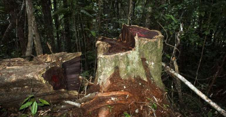 Illegal Logging Of Rosewood In The Kalakpa Forest Reserve