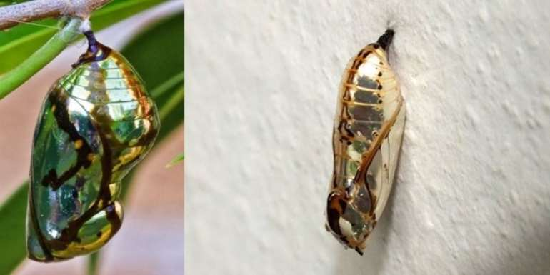 The Shiny Cocoons Of An Exotic Butterfly Resembling Gold Jewels