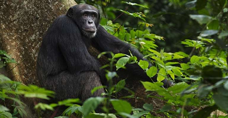 The best-known example of a  zoonotic pandemic is HIV/AIDS, which originated from chimpanzees.  - Source: GettyImages