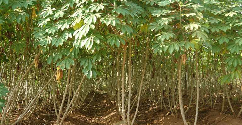 How BASICS Is Changing Nigeria's Cassava Seed Sector And Creating Seed Entrepreneurs