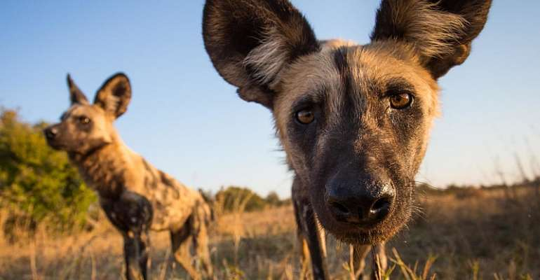 © Painted Dog Conservation