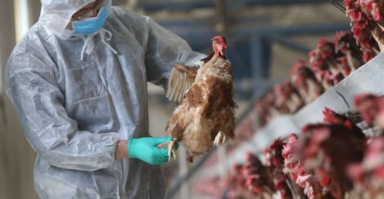 Bird Flu outbreak: Limit movement of poultry ahead of Eid-ul-Adha – Poultry farmers