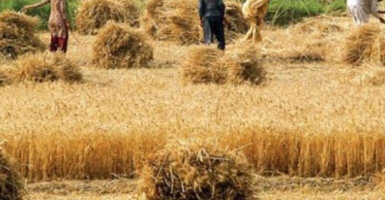 Rice Farmers Still Struggling - AATF Study