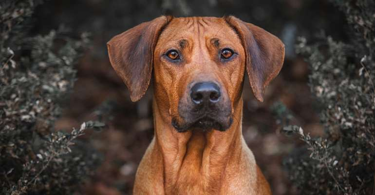A politician argued that the Rhodesian ridgeback was the dog of the ancestors and proposed renaming it the Zimbabwe ridgeback. - Source: Shutterstock