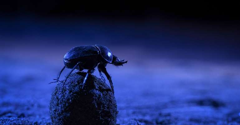 A dung beetle climbs atop its precious ball to orient itself using the night skies. - Source: Chris Collingridge