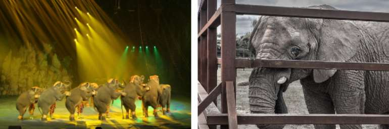 EU Must Be Stopped As They Set To Condemn Young Elephants To Life Of Hell In Shocking CITES Vote