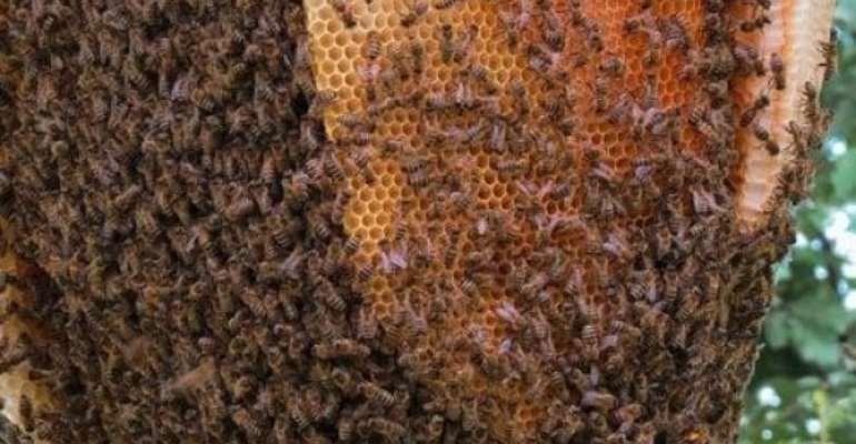 Where Are The Bees Of Mognori?