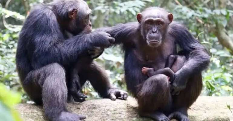Potential of chimps' food could lead to unmasking treatment of human cancers and others