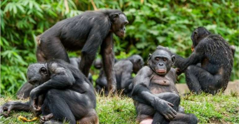 Bonobos form complex social groups - Getty Image