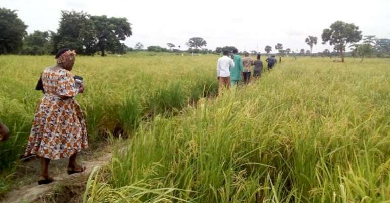 V/R: 600 Rice Farms Ravaged By Drought In Ketu South