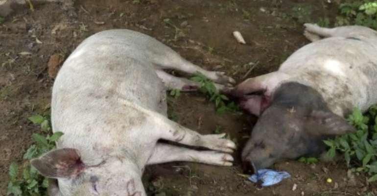 Rampaging Youth Kills Over 100 Pigs In Damongo