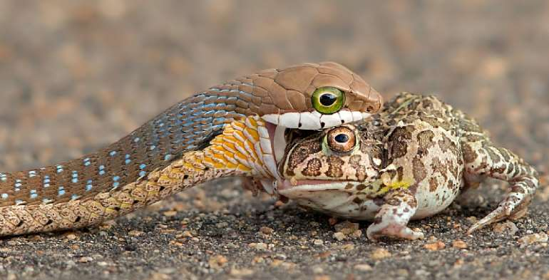 A boomslang eating a bullfrog. - Source: Provided by author/ G Cusins