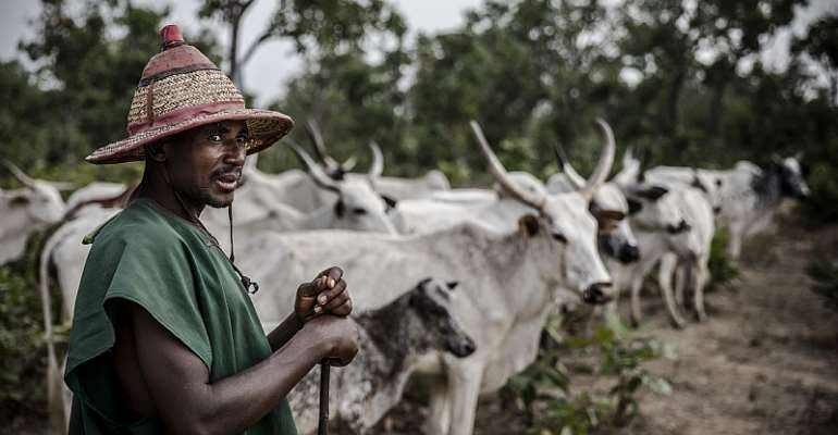A Fulani herdsman tends to his cattle at Kachia grazing reserve, Kaduna State, Nigeria.  - Source: Luis Tato/AFP via Getty Images