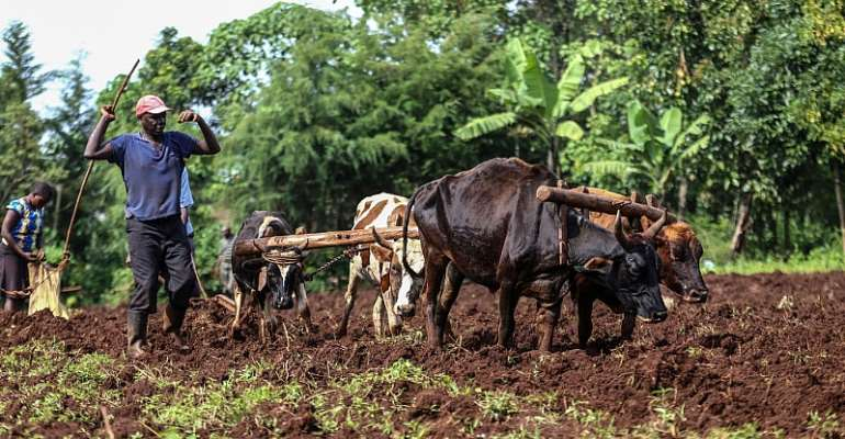 Small-scale farmers use oxen to plough their farm in Kericho County, Kenya.  - Source: Photo by Billy Mutai/SOPA Images/LightRocket via Getty Images