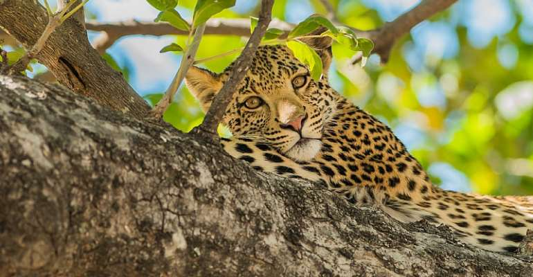 Africa's leopards, like this one in Botswana, are increasingly under threat. - Source: Shutterstock