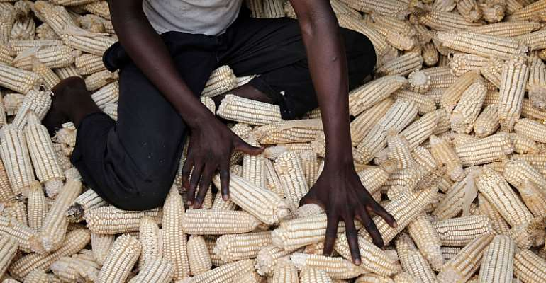 A farmer inspects his maize in Uganda. - Source: Photo by: Godong/Universal Images Group via Getty Images