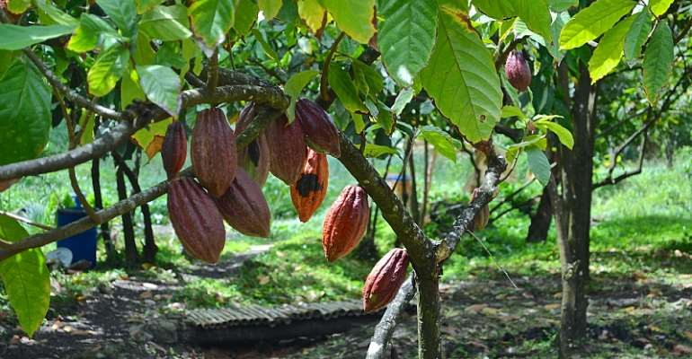 Expectation Of Producer Price Increment For 2020/2021 Cocoa Season: A GCCP Demand