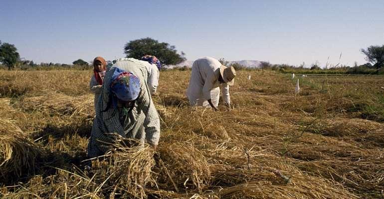 Farmers harvesting rice  - Source: