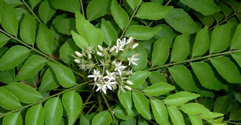 VEPEAG Executives Support Establishing And Maintaining Pest Free Areas For The Production And Export Of Curry Leaves In Ghana
