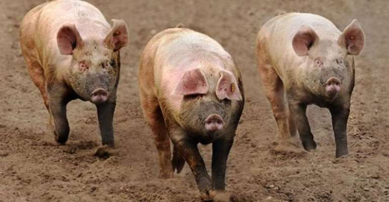 Sekondi-Takoradi, Effia Kwesiminstim Hit By Africa Swine Fever