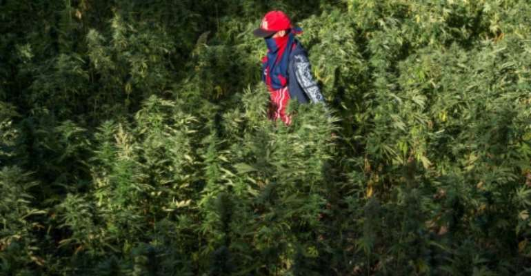 A farmer in a cannabis field in Morocco's northern Rif region in 2017; the North African nation is now considering legalising production for therapeutic use of the drug.  By FADEL SENNA (AFP)
