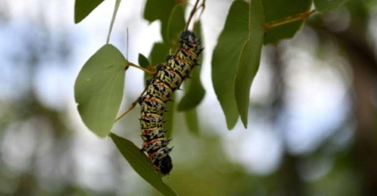 A historic drought has led to a shortage of edible mopane caterpillars in Botswana.  By Monirul Bhuiyan (AFP)