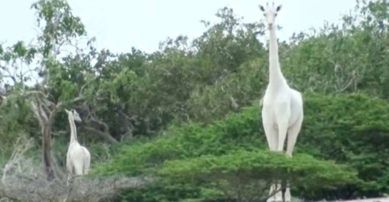 A image by the Ishaqbini Hirola Community Conservancy shows the rare white giraffe and her calf in Kenya.  By Handout (Caters News Agency/AFP/File)