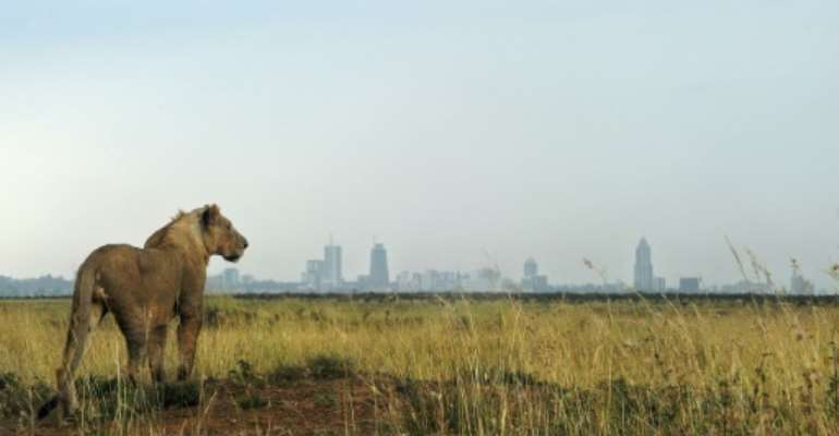 A lion looks towards the Nairobi skyline  - the Living Planet Index warns that continued natural habitat loss increased the risk of future pandemics as humans expand their presence into ever closer contact with wild animals.  By TONY KARUMBA (AFP/File)