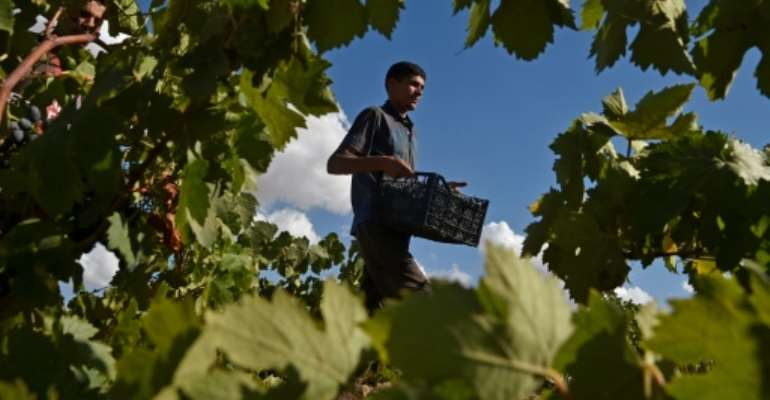 A worker collects grapes in a vineyard in the Sidi Bel Abbes highlands, some 435 kilometres (270 miles) southwest of the Algerian capital.  By RYAD KRAMDI (AFP)