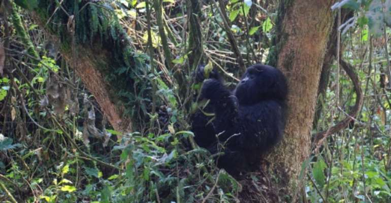 A young mountain gorilla is pictured in 2015 in the jungle at Bukima in Virunga National Park, eastern Democratic Republic of Congo.  By Peter Martell (AFP/File)