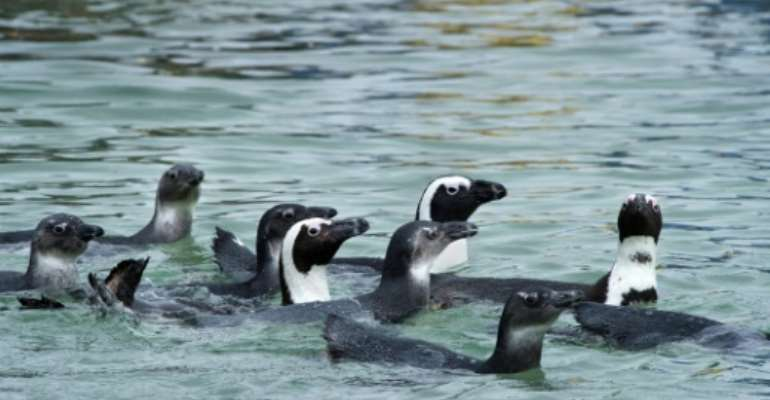 African penguins are listed as endangered.  By Rodger Bosch (AFP/File)