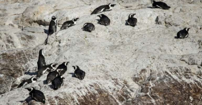 Algoa Bay, off the South African city of Port Elizabeth in the Eastern Cape province, is home to just under half the global population of African penguins.  By MARCO LONGARI (AFP)