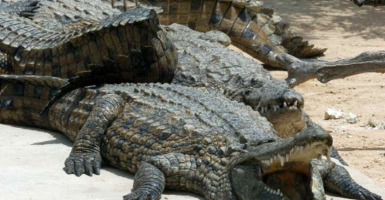 An unknown number of young Nile crocodiles are on the loose.  By FETHI BELAID (AFP)