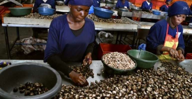 Armed with strict laws and an awareness campaign for planters, Ivory Coast is fighting the smuggling of cashew nuts.  By ISSOUF SANOGO (AFP/File)
