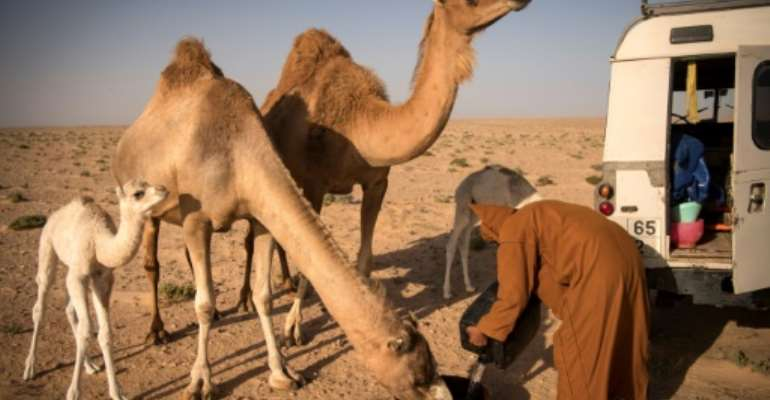 At dawn and dusk in the Western Saharan desert, Habiboullah Dlimi milks his camels by hand in the same way his ancestors used to.  By FADEL SENNA (AFP)