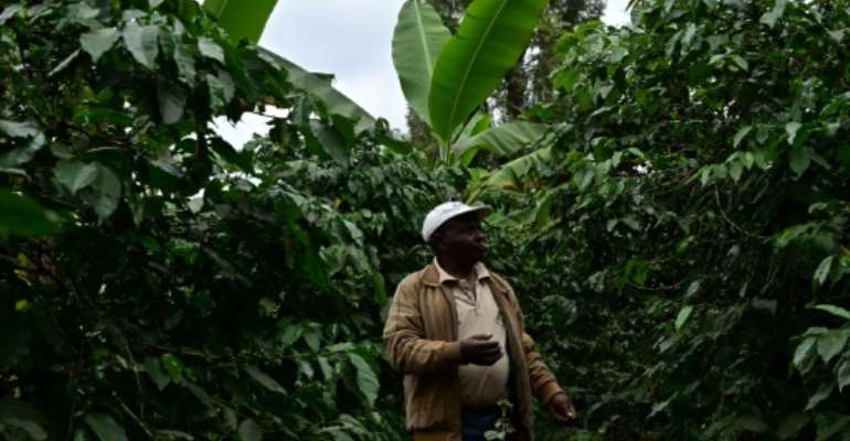 Biogas bounty: Kenyan farmer Josphat Muchiri looks at his flourishing coffee trees -- their harvest has doubled thanks to fertiliser from his cow-dung biodigester, he says.  By TONY KARUMBA (AFP)