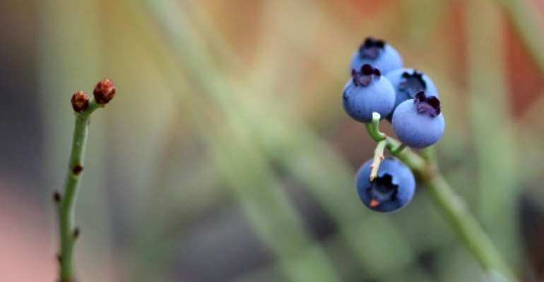 Blueberries are packed with antioxidants that can help fight cancer, diabetes, heart disease and other ailments.  By Daniel ROLAND (AFP/File)