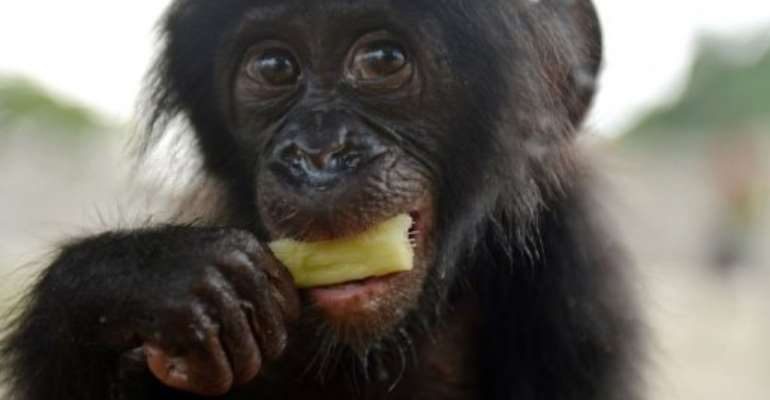 An orphaned bonobo eats sugar cane on March 5, 2013 after being rescued by staff of the