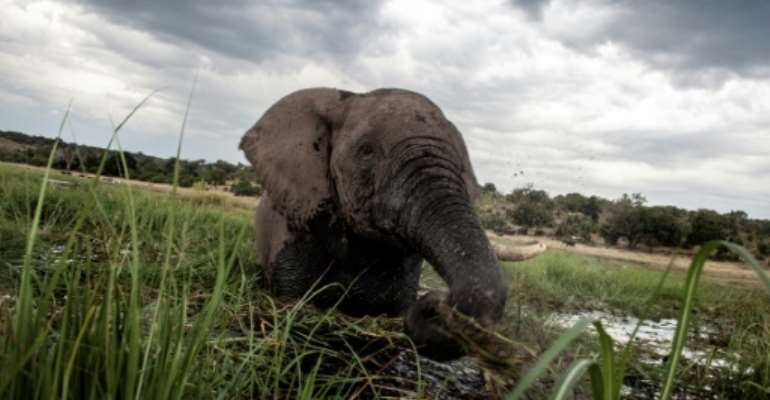 Botswana has the largest elephant population in Africa.  By CHRIS JEK (AFP/File)