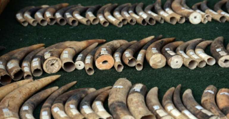 Elephant tusks are displayed by wildlife officials after more than 700 kilogrammes of ivory items were seized on the island of Koh Samui, in Bangkok on December 18, 2015.  By Christophe Archambault (AFP/File)