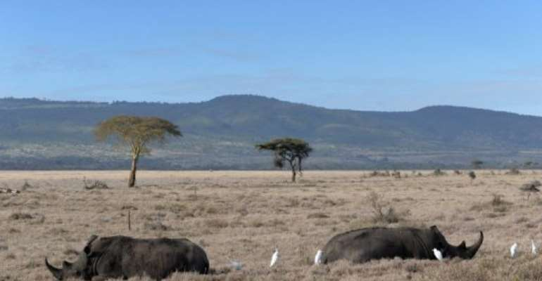 Two male rhinos lie in the savannah at the Lewa Wildlife Conservancy on December 10, 2010.  By Roberto Schmidt (AFP/File)