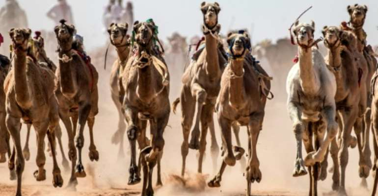 Camels run on a dirt track during a race in Egypt's South Sinai desert after a hiatus of more than six months due to the coronavirus outbreak.  By Khaled DESOUKI (AFP)