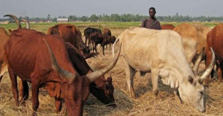 A cattle herder stands among Ankole longhorns, in Maramvya, Burundi, on August 13, 2013.  By Esdras Ndikumana (AFP/File)